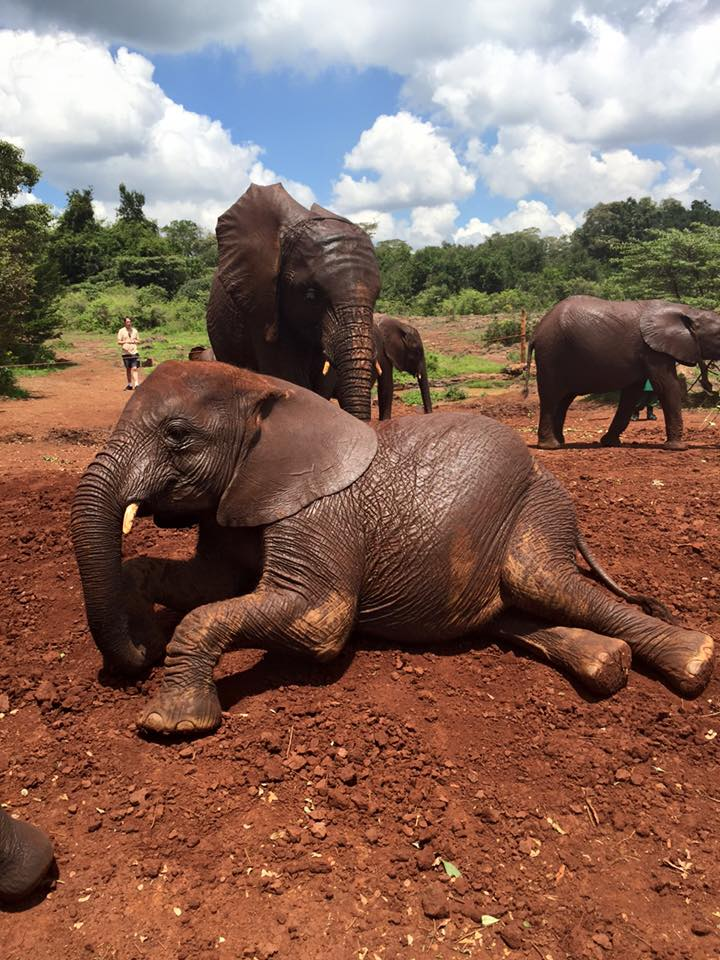 elephants at David Sheldrick Wildlife Orphan Trust